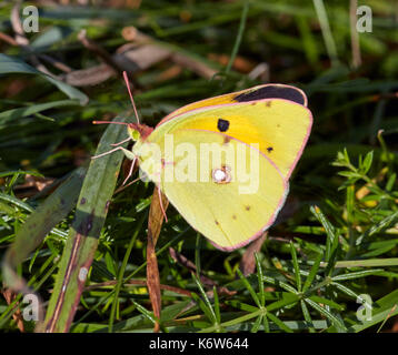 Clouded Yellow butterfly showing a glimpse of its upperside. Hurst Meadows, East Molesey, Surrey, UK. - Stock Photo