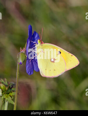 Clouded Yellow butterfly nectaring on Meadow Crane's-bill flower. Hurst Meadows, East Molesey, Surrey, UK. - Stock Photo