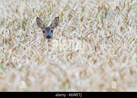 European roe deer (Capreolus capreolus) in corn field, Emsland, Lower Saxony, Germany - Stock Photo