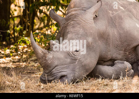 Northern white rhinoceros (Ceratotherium Simum Cottoni), sleeping, animal portrait, Ziwa Rhino Sanctuary, Uganda - Stock Photo