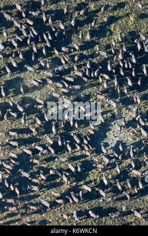 Cape Buffalo (Syncerus caffer caffer), herd, aerial view, Okavango Delta, Moremi Game Reserve, Botswana - Stock Photo