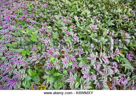 Zebrina pendula (Tradescantia Epidermis) - Stock Photo