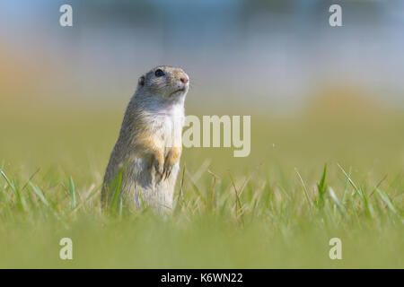 European ground squirrel (Spermophilus citellus), standing in meadow, Vienna area, Austria - Stock Photo