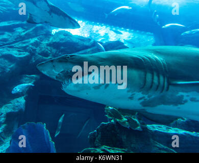 Shark in the Dubai Aquarium and Underwater Zoo, Dubai Mall, Dubai, United Arab Emirates - Stock Photo