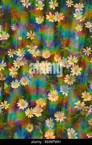 Daisy flowers on a sunny spring day. Abstract sunlight spectral reflections through vintage prism lens filter. - Stock Photo