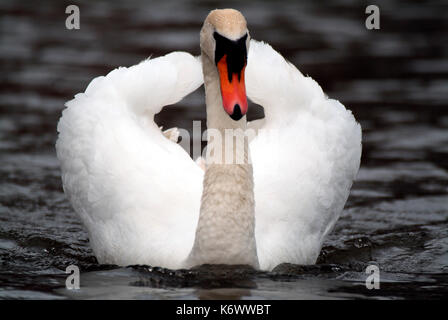 Mute Swan, Cygnus olor, floating on water, coming towards camera with wings raised, majestic. - Stock Photo