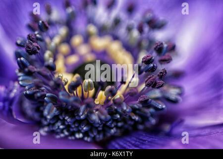 Macro of purple anemone - Stock Photo