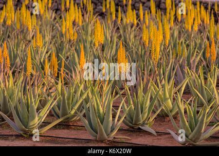 Fuerteventura canary island spain aloe vera plantation - Aloe vera culture ...