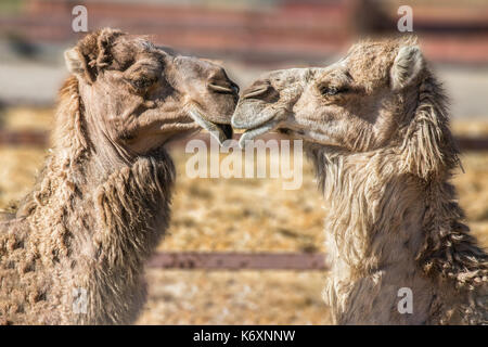 Kissing Camels - Stock Photo