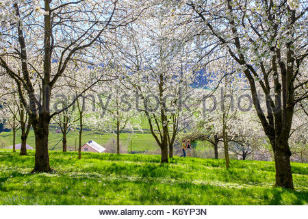 Germany, Baden-Württemberg, Schliengen. Two people walking past blossoming cherry trees in the Eggenertal Valley - Stock Photo
