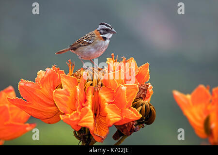 Rufous-collared sparrow (Zonotrichia capensis) on colorful orange flowers, Bolivian Yungas, Nor Yungas Province, - Stock Photo
