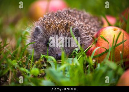 Hedgehog and aplles in nature view, wildlife portrait of Erinaceus europaeus - Stock Photo
