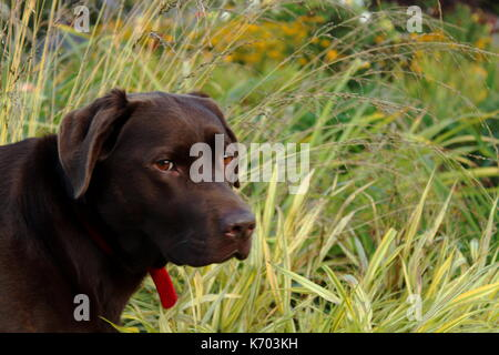 Chocolate Labrador - Stock Photo