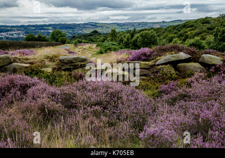 Purple heather and yorkshire stone wall remains on Shipley Glen, Yorkshire, England - Stock Photo
