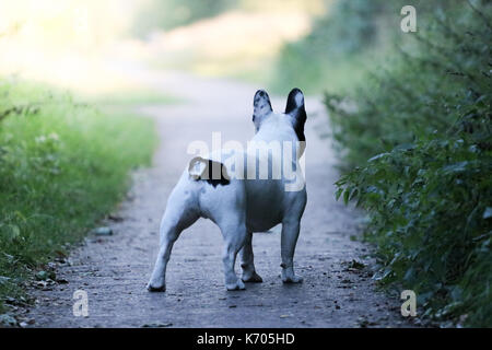 Black and White French Bulldog walking off into the distance - Stock Photo