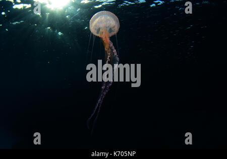Mauve stinger jellyfish underwater at Cala Balanca, Menorca - Stock Photo