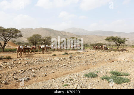 Salt Camel Camels caravan carrying salt in Africa's Danakil Desert, Ethiopia - Stock Photo