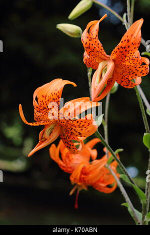 Lilium lancifolium 'Flore Pleno', also called tiger lily or Double-flowered Devil lily, flowering in an English - Stock Photo