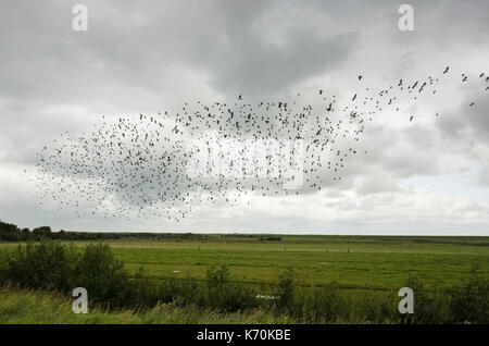 Hafenstraße, Langeoog.  Deutschland.  Germany.  Migrating Starlings flying in formation over the grassland.  It's - Stock Photo