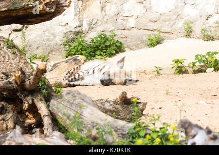 Striped hyena rests after night hunting, on hot African sand in the early morning - Stock Photo