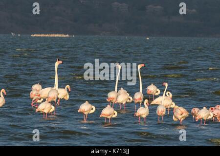Kenya, Soysambu conservancy, lesser flamingo (Phoeniconaias minor) and greater flamingoes (Phoenicopterus ruber - Stock Photo