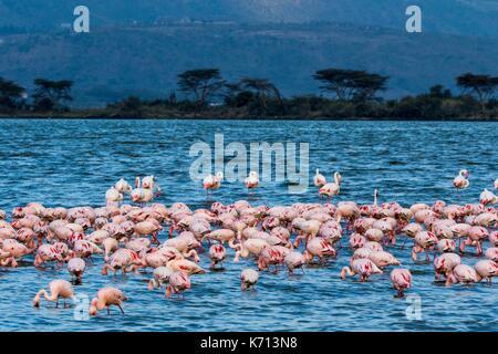 Kenya, Soysambu conservancy, lesser flamingo (Phoeniconaias minor), on the lake Elementeita - Stock Photo