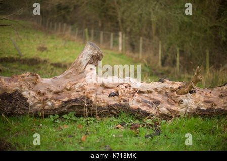 Fallen ancient tree in a field - Stock Photo