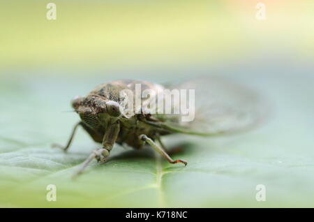 Detail macro image of a dog-day cicada (Neotibicen canicularis) on a green leaf - Stock Photo