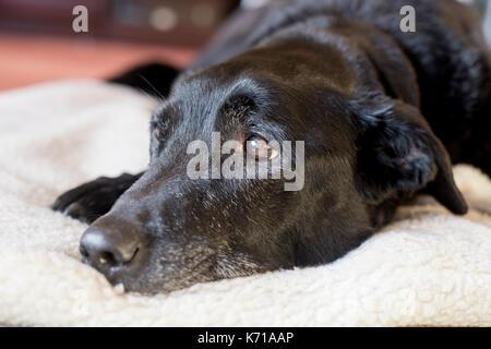 An elderly black labrador rests on a white fleece - Stock Photo