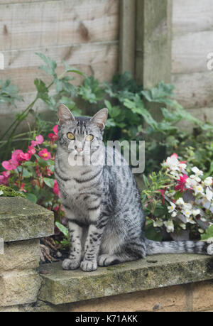 An Egyptian Mau Cat sitting on a garden wall - Stock Photo