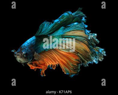 Fine art concept close up beautiful movement of 'Half moon' Betta fish isolated - Stock Photo