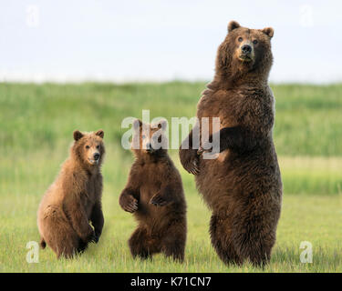 Brown bear sow and yearling cubs standing - Stock Photo