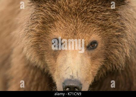 Brown bear yearling cub close up - Stock Photo