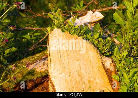 Close up of Alder tree stump eaten by Beavers with regeneration of Alder, a year after it has been first eaten . - Stock Photo