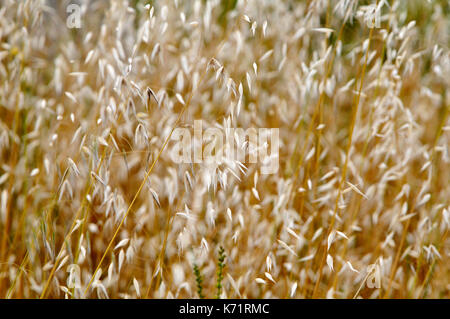 Avena fatua, wild Oat, species of grass in the Oat genus. Torrelles de Llobregat, Barcelona, Catalonia, Spain - Stock Photo