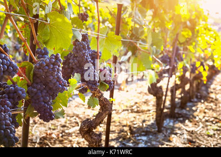 Bunch of ripe black grape on the vine in sunny autumn vineyards before harvest - Stock Photo