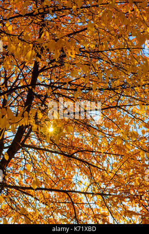 Foliage outdoor fall color image of a tree with autumn colored orange leaves and the sun shining through the tree - Stock Photo