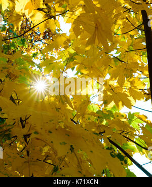 Outdoor color fall foliage image of a maple tree with autumn colored yellow leaves and the sun shining through the - Stock Photo