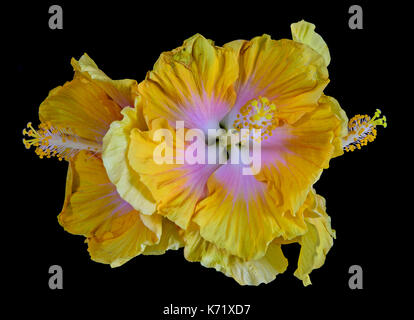 Color macro of a bunch / bouquet of isolated flowering yellow pink white Hibiscus blossoms on black background - Stock Photo