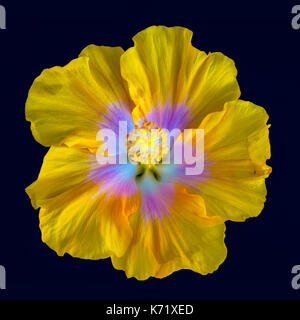 Color macro of a single isolated flowering yellow pink white hibiscus blossom on dark blue background in top view - Stock Photo