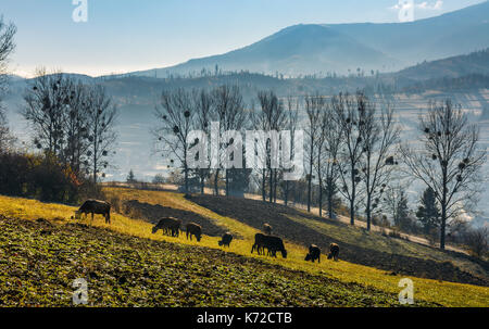cow grazing on hillside in autumnal countryside. lovely agricultural scenery in Carpathian mountainous rural area - Stock Photo