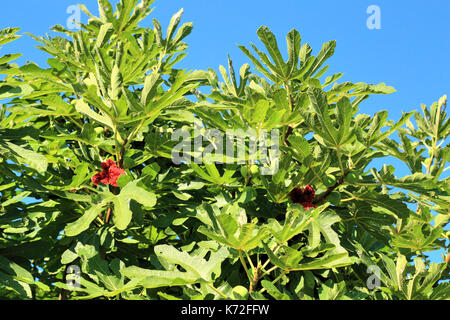 Open fig fruit in fig tree branch - Stock Photo