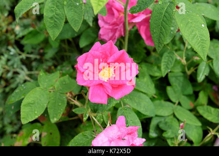 Dark pink open rose in bloom in July growing in a garden in Carmarthenshire Wales UK - Stock Photo