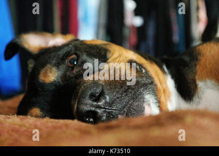 A Face Shot of a Rottweiler  / Pit Bull Mix Breed Dog Laying On His Side on a Bed - Stock Photo