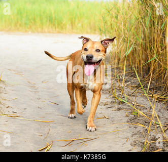smiling redhead American pit bulls walking on nature, summer day - Stock Photo