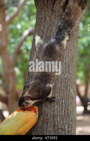 Sri Lankan Grizzled Giant Squirrel - Stock Photo