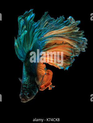 Fine art concept close up beautiful movement of 'Half moon' Betta fish isolated - Stock Photo