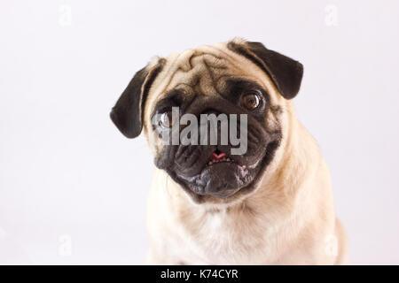 Sitting dog pug with the big eyes isolated - Stock Photo