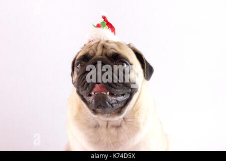 Sitting dog pug with the big eyes and red hat isolated - Stock Photo