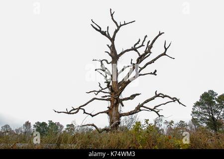 Dead Tree found in North Carolina. - Stock Photo